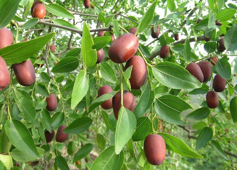 故乡的红枣树