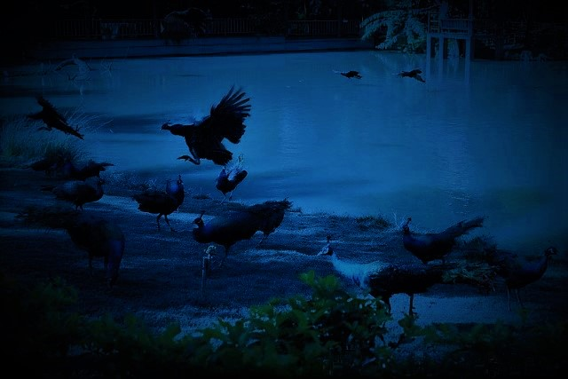 葫芦枫韵 湖边的孔雀 C混缩